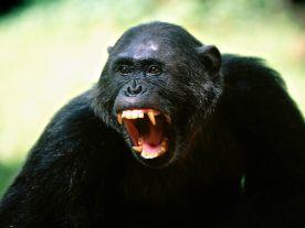 chimpanzee-3